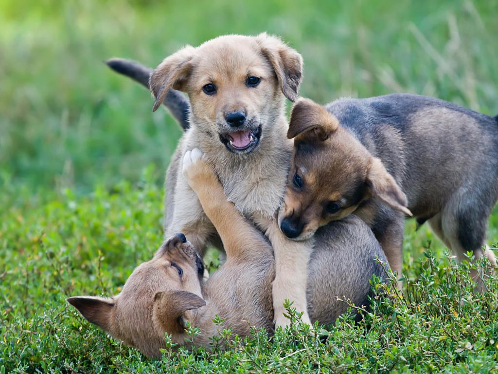 Игровая агрессия у собак №1. Статья Дрессировочного Центра Бриг