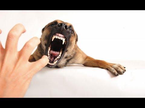 Игровая агрессия у собак №5. Статья Дрессировочного Центра Бриг
